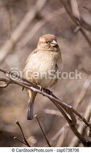 Sparrow - csp0738706