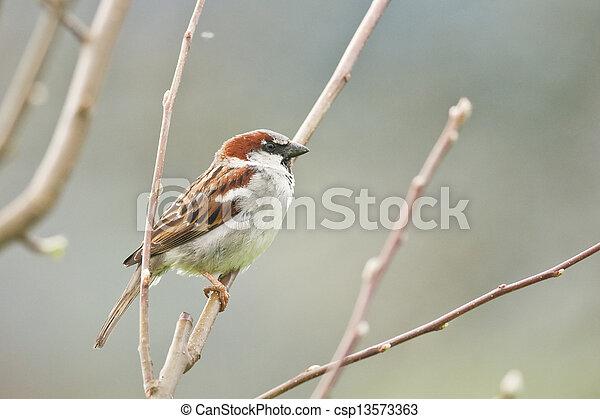 sparrow - csp13573363