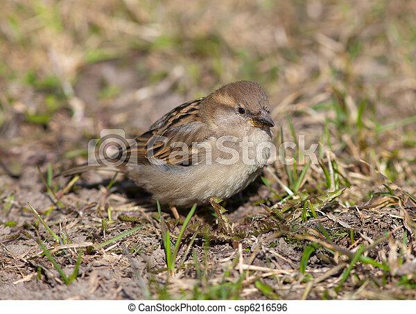 sparrow - csp6216596