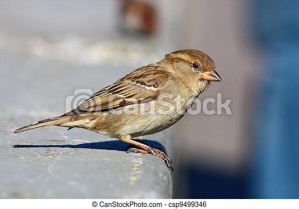 sparrow - csp9499346