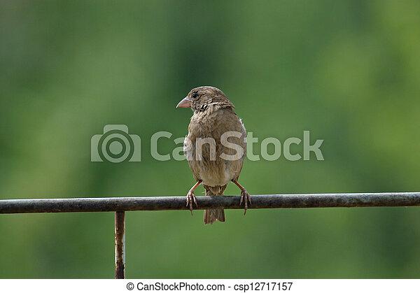 Sparrow - csp12717157
