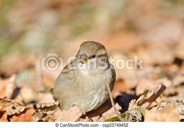 Sparrow - csp23749452