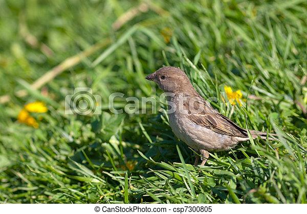 sparrow - csp7300805