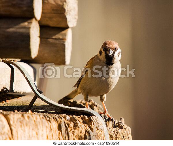 Sparrow - csp1090514