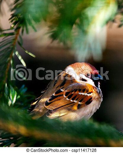 Sparrow - csp11417128
