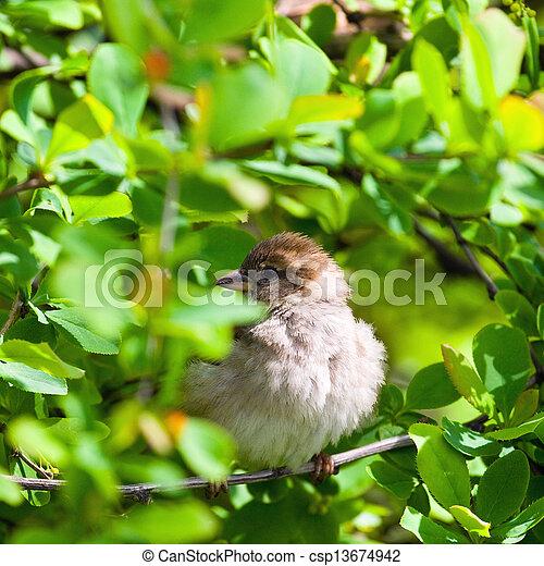 sparrow - csp13674942