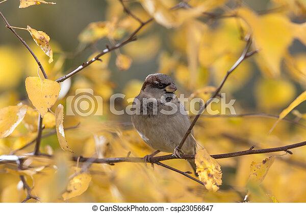 sparrow - csp23056647