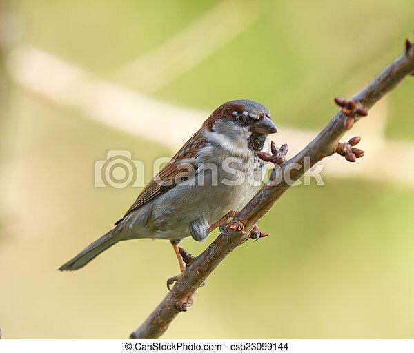 Sparrow - csp23099144