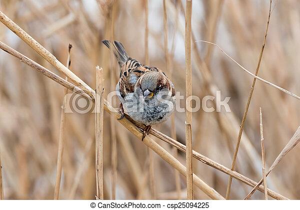 Sparrow - csp25094225