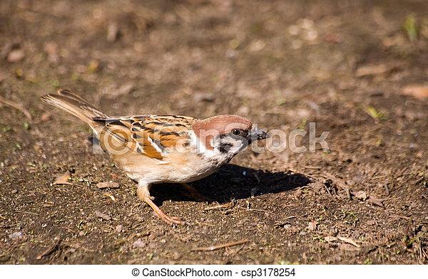 sparrow - csp3178254