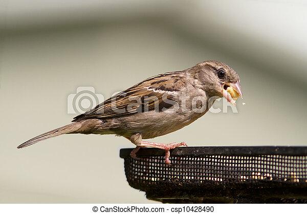 Sparrow - csp10428490