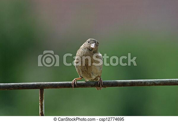 Sparrow - csp12774695