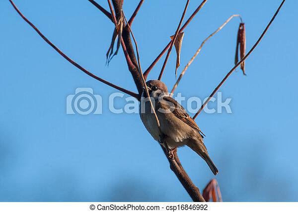 Sparrow - csp16846992