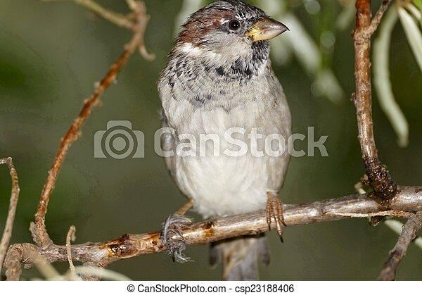 Sparrow - csp23188406