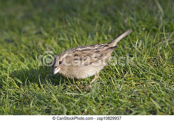 sparrow - csp10829937