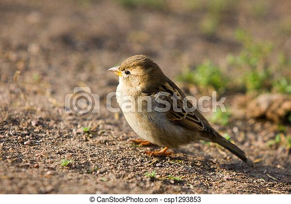 sparrow - csp1293853