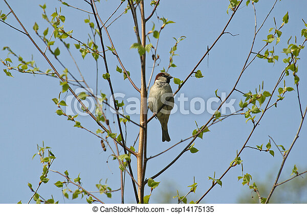 Sparrow - csp14175135