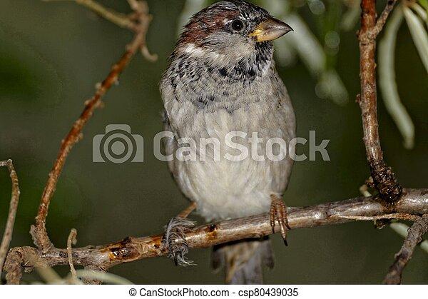 Sparrow - csp80439035