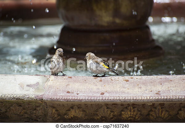 Sparrows near the fountain on a hot summer day - csp71637240