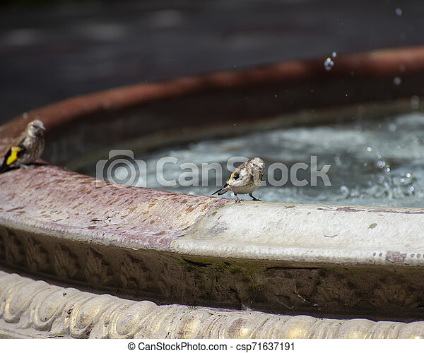 Sparrows near the fountain on a hot summer day - csp71637191