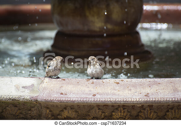 Sparrows near the fountain on a hot summer day - csp71637234