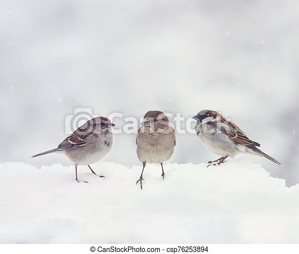 Sparrows on snow in the winter - csp76253894