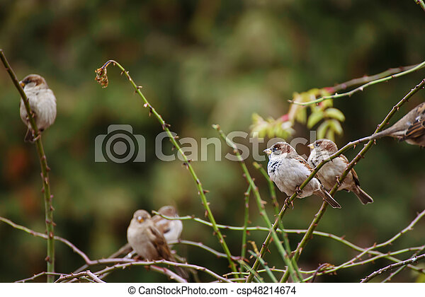 Sparrows on the branch - csp48214674