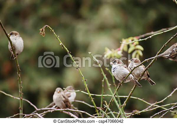 Sparrows on the branch - csp47066042