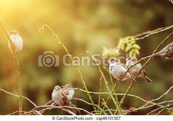 Sparrows on the branch - csp46101307