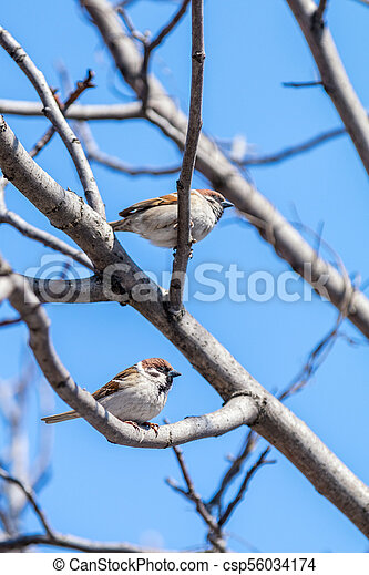 Sparrows on the branch. Sunny day. Blue sky. Beautiful early spring day. - csp56034174