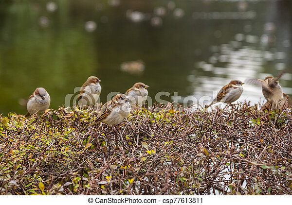 Sparrows on the bushes - csp77613811