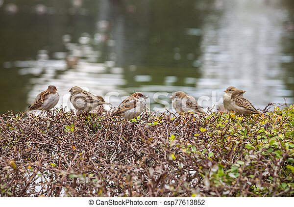 Sparrows on the bushes - csp77613852