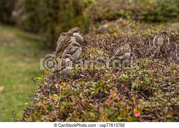 Sparrows on the bushes - csp77613792