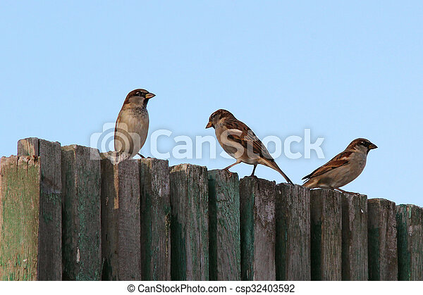 sparrows on the fence - csp32403592