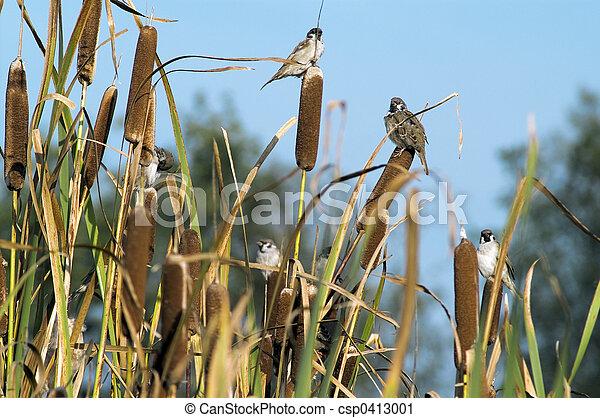 Sparrows - csp0413001