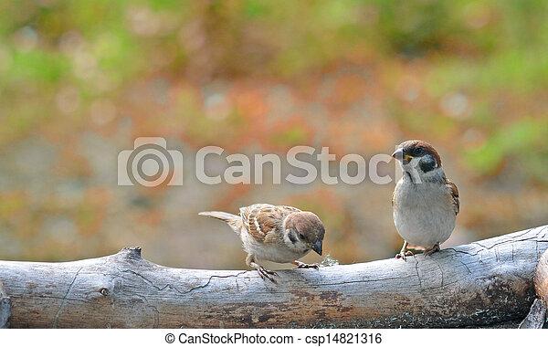 sparrows - csp14821316