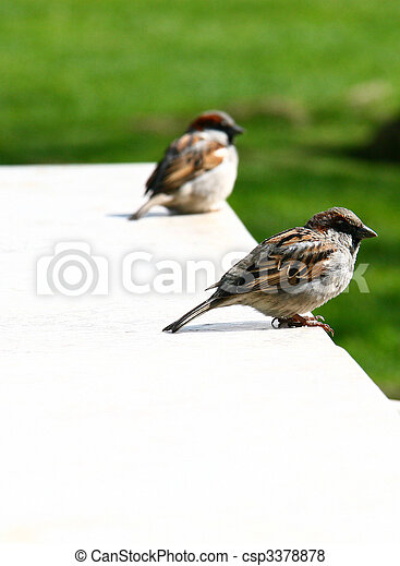 Sparrows - csp3378878