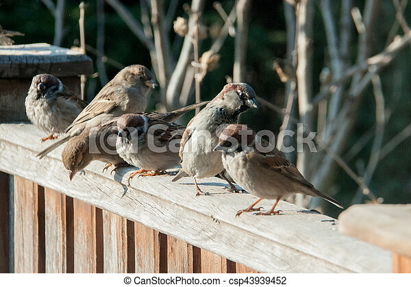 sparrows sit on the fence - csp43939452