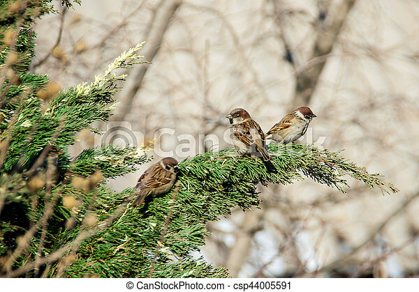 sparrows sitting on the juniper - csp44005591