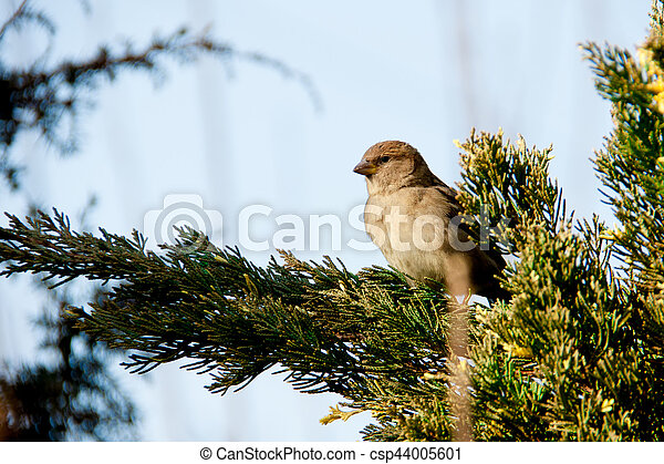 sparrows sitting on the juniper - csp44005601
