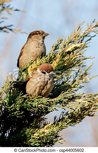 sparrows sitting on the juniper - csp44005602