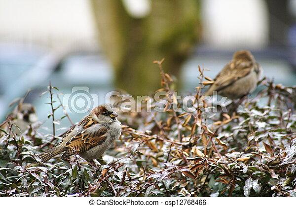 Sparrows - csp12768466