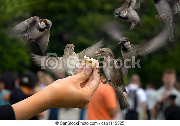 Sparrows - csp1113325