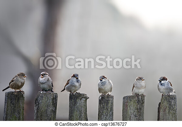 sparrows - csp13676727