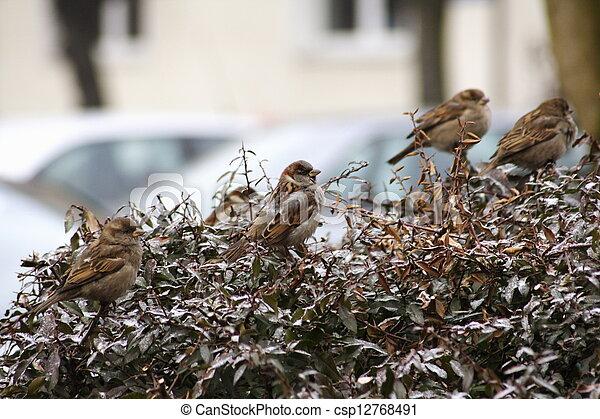 Sparrows - csp12768491