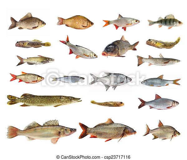 species of river fish - csp23717116