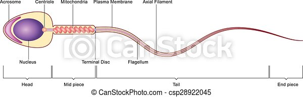 Sperm cell anatomy. Vector labelled illustration of human sperm cell ...
