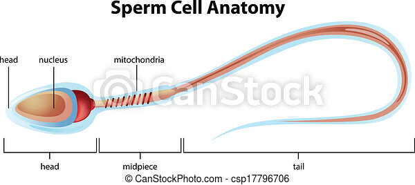 Sperm cell structure. Illustartion showing the structure of a sperm ...