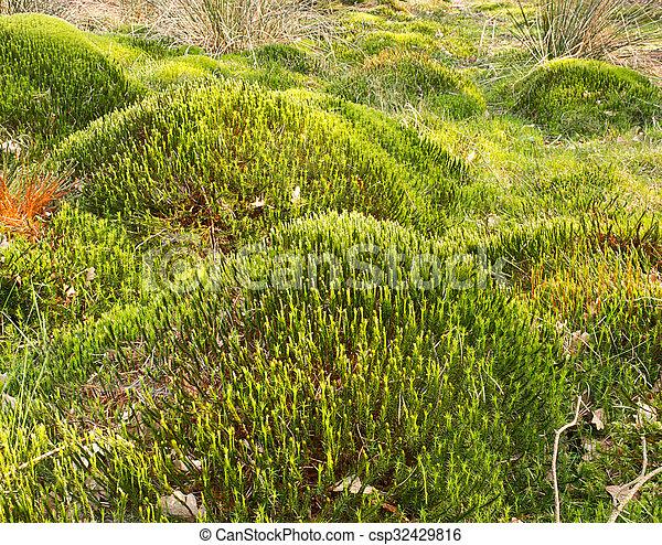 Sphagnum muss guisantes bog - csp32429816