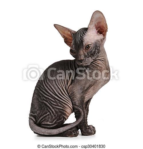 Sphynx kitten black color isolated on white